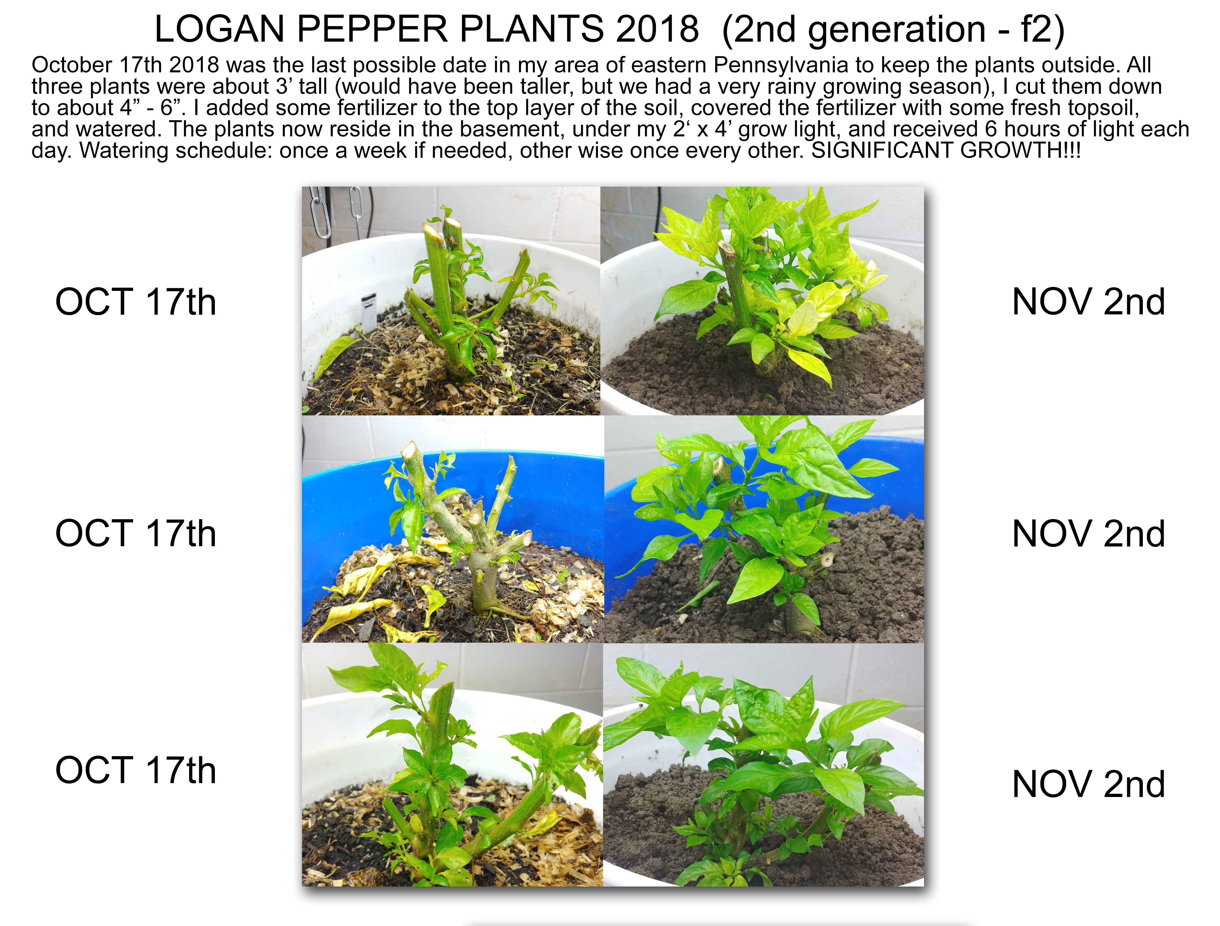 Logan Pepper Plant – Pepper Topping, Over-Wintering, Indoor